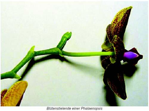 sch lerinnen klonen orchideen. Black Bedroom Furniture Sets. Home Design Ideas
